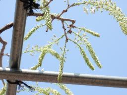 白い藤つぼみ.jpg
